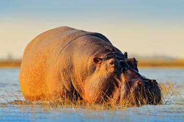 African Hippopotamus, Hippopotamus amphibius capensis, with evening sun, Chobe River, Botswana. Danger animal in the water, hippo. Wildlife scene from African nature. Big mammal swimming in lake.