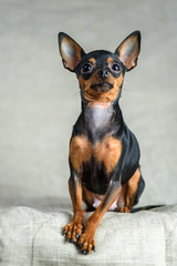 portrait of a small dog with big ears