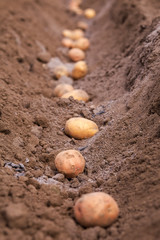 Potato tubers planting into the ground. Early spring preparations for the garden season.