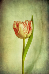 Tulip, pink and white with texture