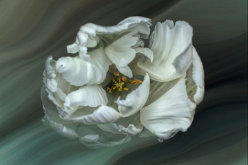Tulip, white with texture, top view