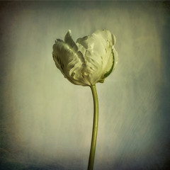 Tulip, white with texture