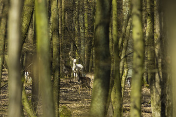 white fallow deer in spring forest
