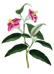 Illustration of the plant.