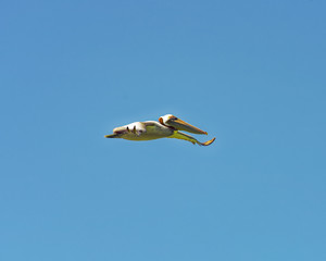 Pelican gliding against a blue sky
