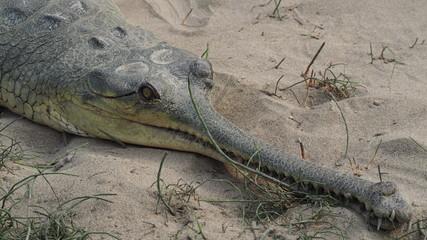 Gharial crocodiles (Gavialis gangeticus) in breeding centre in Chitwan, Nepal