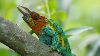 Rare three horned chameleon in the Rwenzori Mountains, Uganda