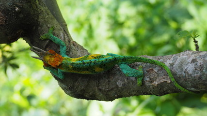 Beautifully coloured three horned chameleon in the Rwenzori Mountains, Uganda