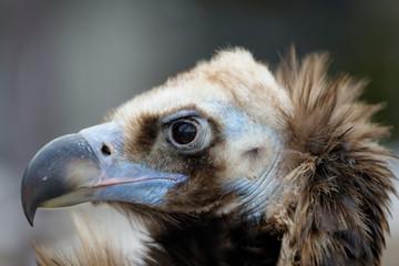 Vulture close-up portrait