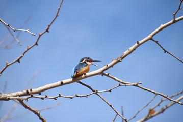 a tweeting kingfisher / さくらの木でツィートするカワセミ(オス)