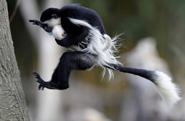 A guereza monkey jumps with a newborn baby at Prague Zoo