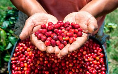Red ripe coffee berries