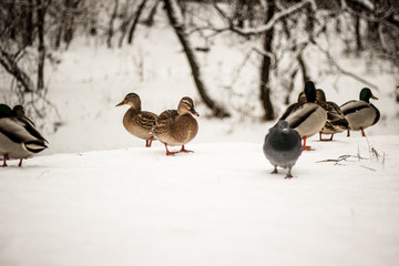 Утки зимой у пруда, птицы на снегу