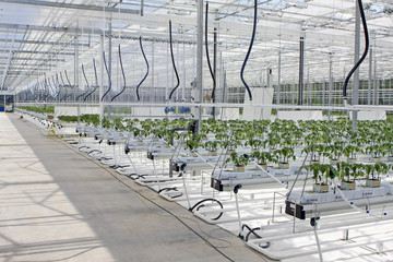 Big white greenhouse with thousands of tomato plants.