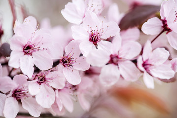 A branch of blossoming cherry from botanical garden. Close-up photo. Floral abstract texture. Nature concept. Plant pattern