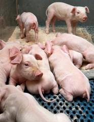 Pigs breeding. Piglets in stable lactating. Nursing. Suckling