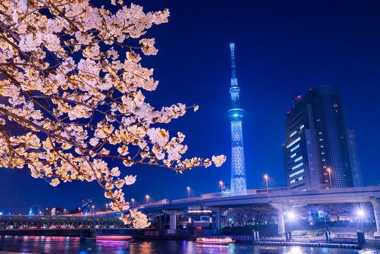 浅草 隅田公園の夜桜とライトアップされたタワー / A night view of the cherry blossoms in full bloom in Asakusa Sumida Park and the illuminated tower. Taito, Tokyo, Japan.