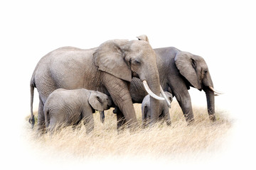 African elephant group isolated