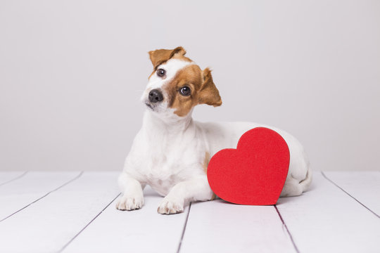 Portrait of a cute young small dog sitting on the floor and looking curious at the camera. Red heart next to him. White floor and background. Pets indoors. Love concept