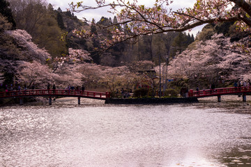Pond and cherry blossoms at Mobara Park in Mobara City, Chiba Prefecture, Japan