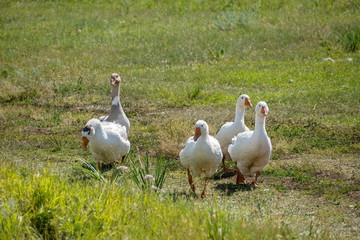 A flock of domestic geese on a rural road on a sunny summer day.