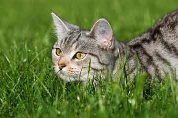 Katze liegt im Gras auf der Lauer