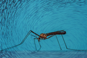 Large mosquito sits on blue wall close-up. Macro photography of giant insect on blue background.