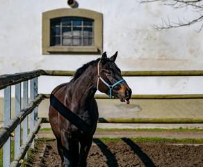 Schwarzes Pferd streckt die Zunge raus