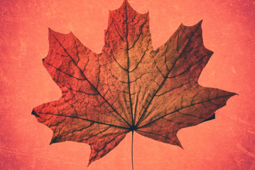 Beautiful autumn red yellow canadian maple dry leaf on a pink background artwork closeup