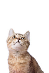 Cat of breed Scottish Straight. The cat looked up. A cat is isolated, on a white background.