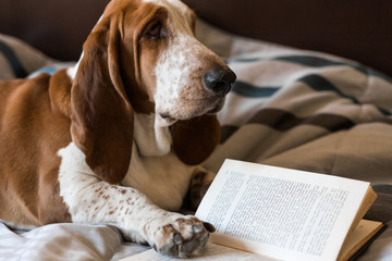 Basset Hound dog brown and white intelligent intellectual reading book of glasses on the bed.