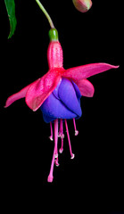 Fuchsia Flower Isolated on Black Background