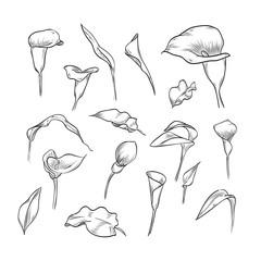 Vector hand drawn elegant callas