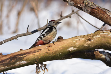 Middle spotted woodpecker sits on a fallen tree, clawing its claws.