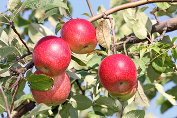 Four red apples on the tree