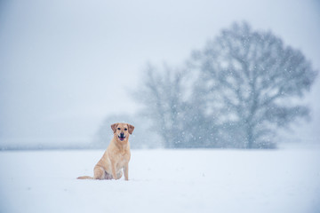 Golden Labrador in the snow, United Kingdom, Europe