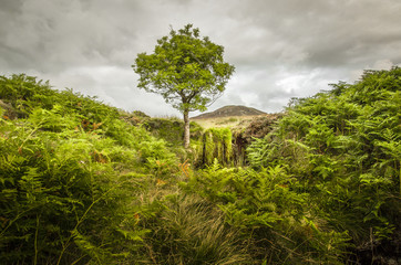 Lone tree, bracken and Bleaberry Fell, Central Lake District, Cumbria, England, United Kingdom, Europe