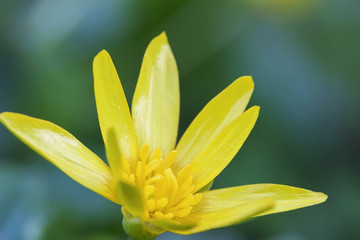 Gagea lutea. Blooming flowers of the yellow star-of-Bethlehem close-up, first spring flowers, selective soft focus