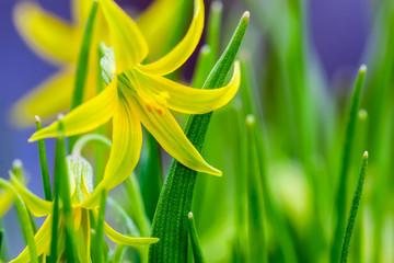 Blooming Yellow Star-of-Bethlehem, Gagea lutea. Macro. Spring natural herbal, grassy background