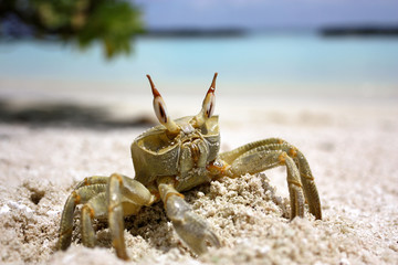 A large crab crawled out on a white sandy beach on a sunny day on the maldives kuramathi island with the blue sea and sky backgroung