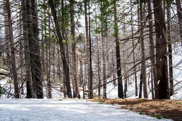 Burnt tree in the snow