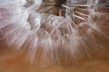 Macro de la naturaleza de semillas de diente de león