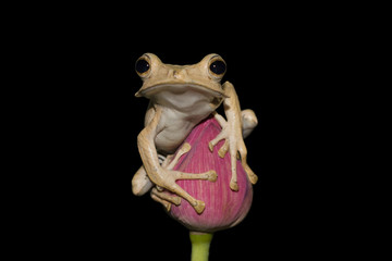 Eared frog sitting on bud with black background, frog, animal, tree frog
