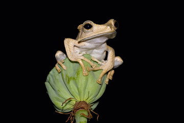 Eared frog, tree frog on bud with black background