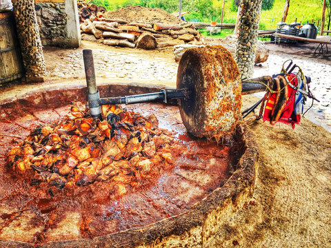 Agave pulp is crushed to produce Mezcal