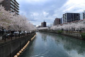大岡川プロムナードの桜 ( 神奈川県横浜市 )