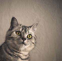 british cat, portrait