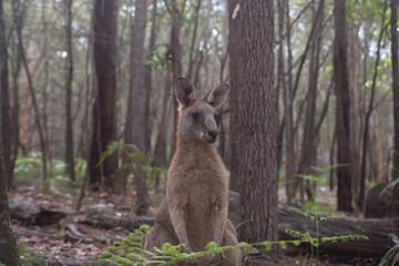Marsupialis ferox