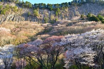 屏風岩をバックに満開の山桜