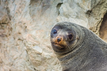 A Fur Seal (Arctocephalus forsteri) in Kaikoura on the Southern East Coast of New Zealand with copy space.